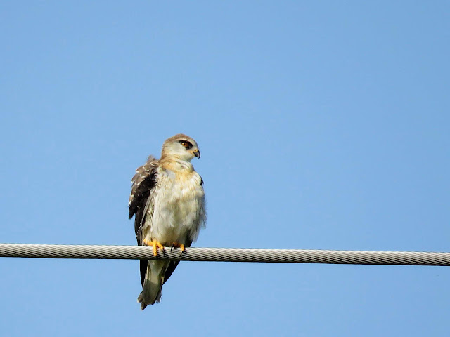 Black shouldered kite in Uganda