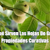 Para Qué Sirven Las Hojas De Guayaba: Propiedades Curativas