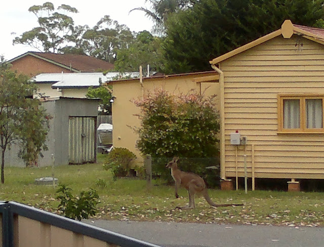 Beyond the fence and grey roadway stands an Eastern Grey kangaroo on the green verge facing left.  It is standing in front of a green shrub which is growing in the garden of a cream-coloured wooden house.  Beyond the house is a grey garden shed, other rooftops and, in the distance, one can see a canopy of eucalyptus trees against a light sky.