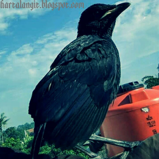 mitos burung gagak - harta langit