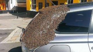 بالصور- 20 ألف نحلة تطارد سيارة يومين لإستعادة ملكتهم