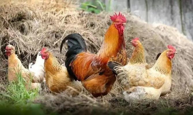 Κίνα: Γρίπη των πτηνών «θερίζει» τα κοτόπουλα στη χώρα, πιθανότητα να μεταδοθεί και στους ανθρώπους