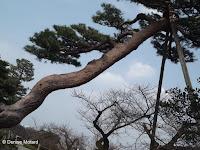 Tree supports can reach quite high - Kenroku-en Garden, Kanazawa, Japan