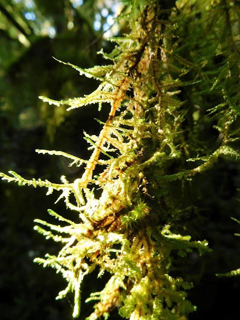 les lichens du bois de Païolive