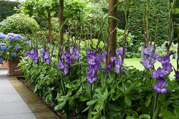голубая гортензия и фиолетовые гладиолусы