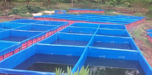 Cara budidaya ikan sidat di kolam terpal