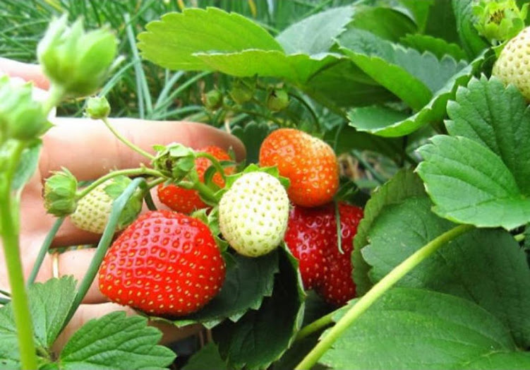 Bibit Tanaman Buah Strawberry California Stroberi Jumbo Berbuah Banten