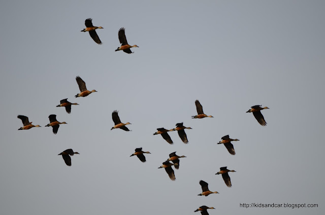 migratory birds in flight