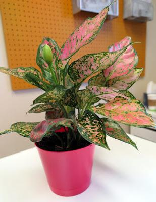 Cara Merawat Tanaman Bunga Aglaonema Sri Rejeki Ratu Daun
