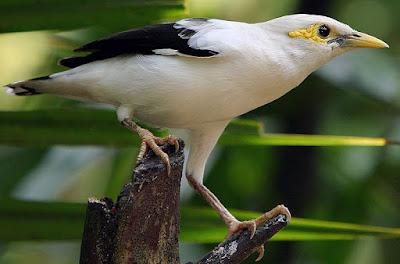 Download Kicauan Merdu Burung Jalak Putih Full Isian