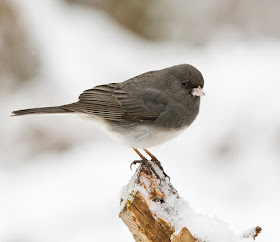 Photo of Dark-eyed Junco on snow-covered branch