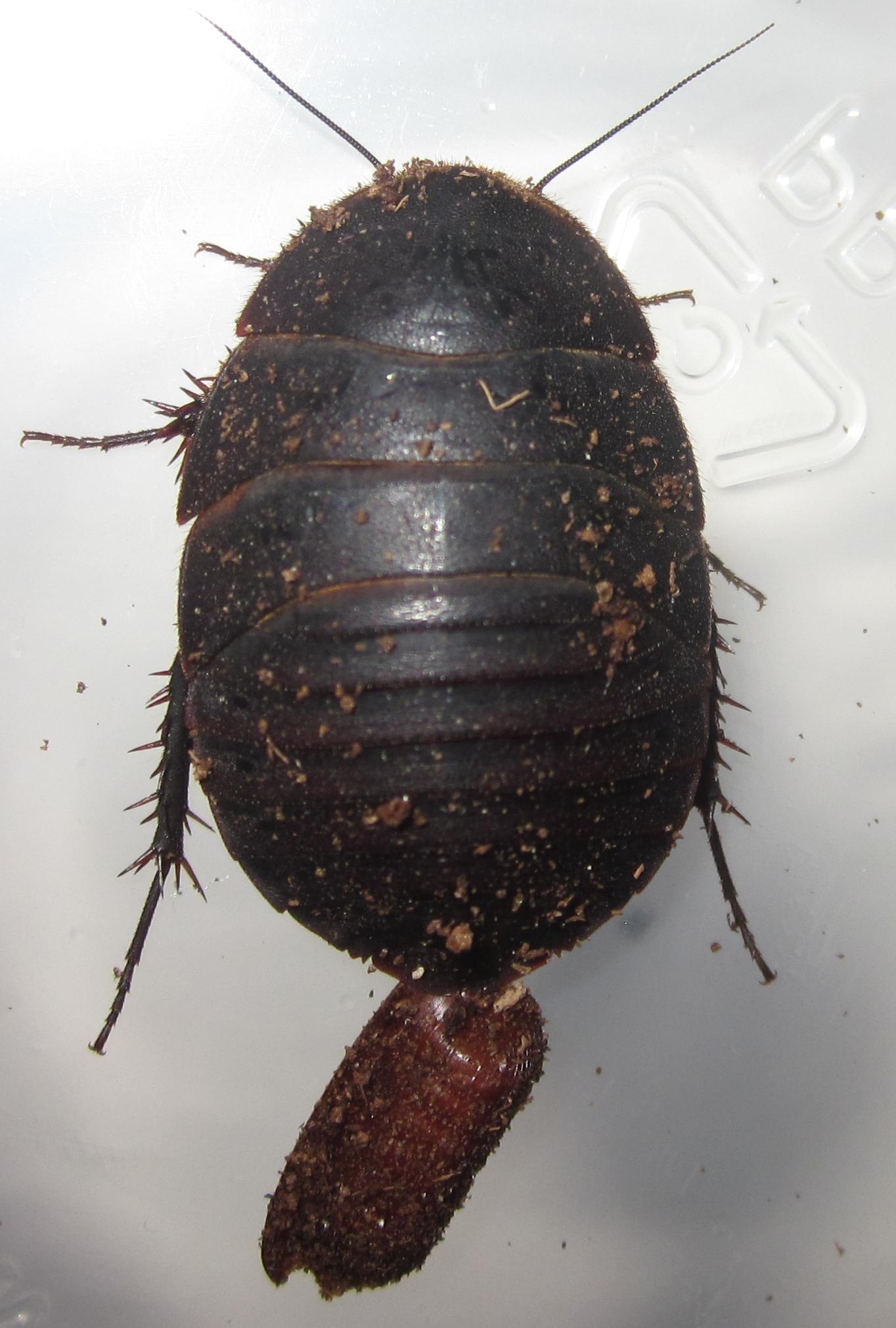 A.bollianaDelRioFemale%252311.JPG