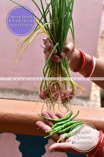 Home grown Spring Onions and Green Chillies