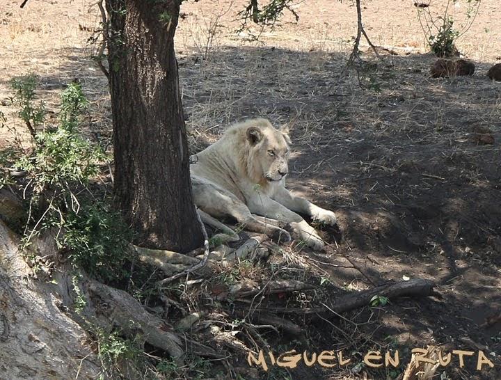 Casper, león blanco en Kruger