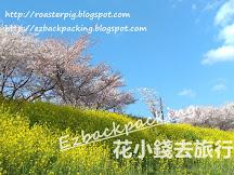 釜山大渚生態公園油菜花2019+洛東櫻花祭遊記