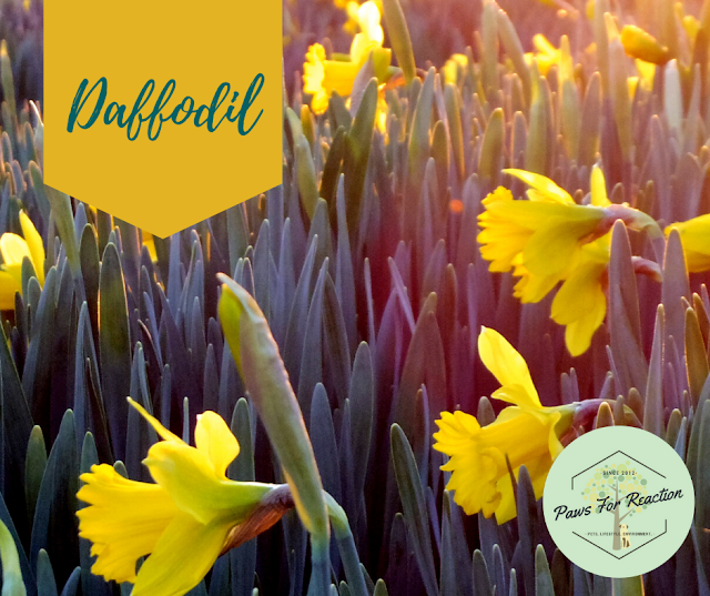 Spring safety 10 common flowers that are toxic to dogs Daffodil