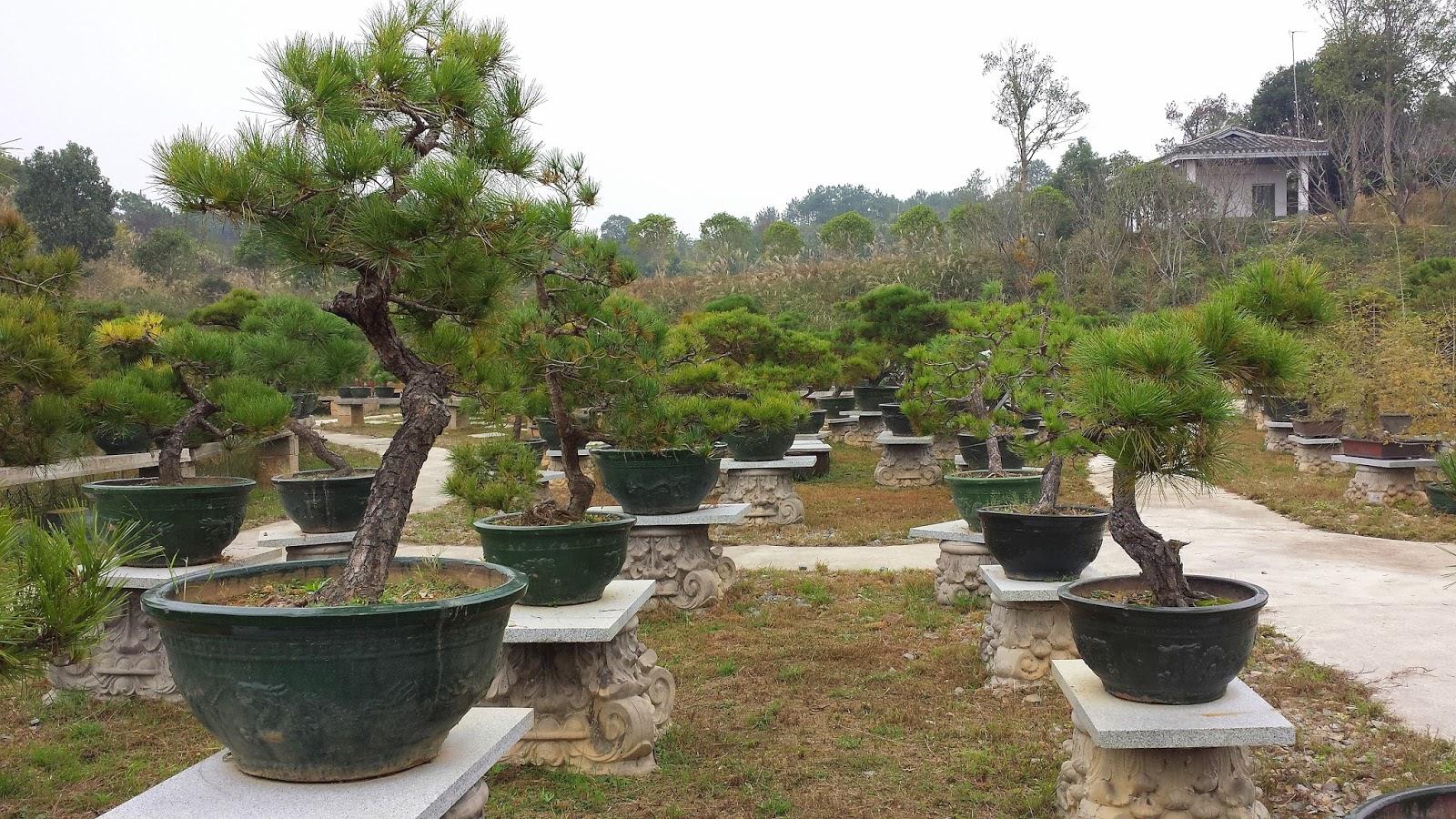 Studiujemy W Chinach Zrbmy Sobie Bonsai Bonsai Cz II