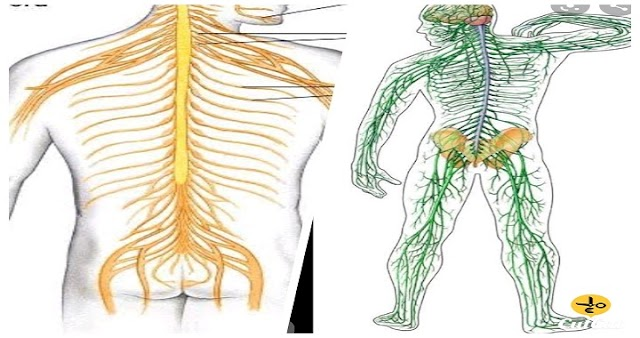 How do nerves work? And what are their diseases? And what is the treatment?