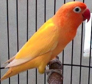 Tips Dan Cara Ampuh Mengatasi Burung Love Bird Naik Turun Tangkringan Paling Akurat