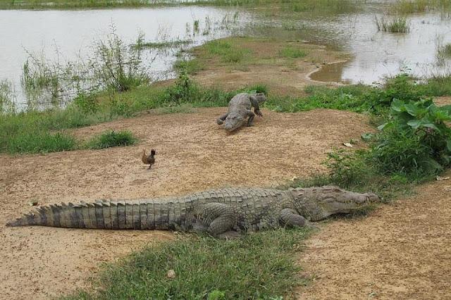 Người dân ở ngôi làng kì lạ sống cùng hàng trăm con cá sấu 4