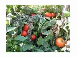 Ο Περονόσπορος της ντομάτας