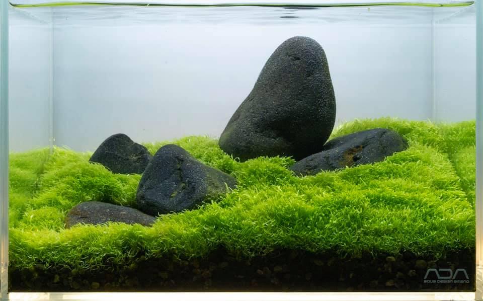Cây Cỏ giấy trong hồ thủy sinh của Tono Dreben