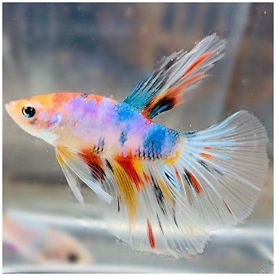 10 Jenis Ikan Cupang Yang Akan Trending Tahun 2020 Aquaama