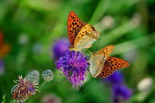 Daur Hidup Kupu-kupu kelas 3 SD,  siklus makhuk hidup