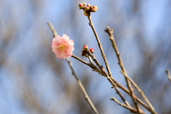 台中北區雙十國中梅花林,校園裡面居然也有梅園,平地賞梅好選擇