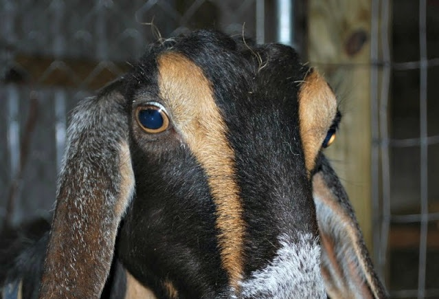 Bacterial conjunctivitis in goats and how to treat it.