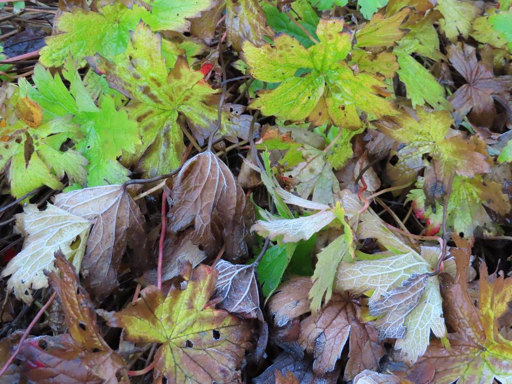 Green and brown geranium leaves