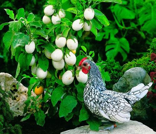 """Essa planta ornamental causa curiosidade pela aparência do seu fruto.  Após florescer, ela produz um fruto que é igual a um ovo de galinha.  O fruto permanece sem amadurecer por várias semanas, isso faz com que a planta fique carregada de """"ovos"""" por bastante tempo, chamando bastante atenção de quem observa. Assim, essa é uma planta que enfeita muito bem os jardins, varandas e até interiores, desde que sejam bem iluminados."""