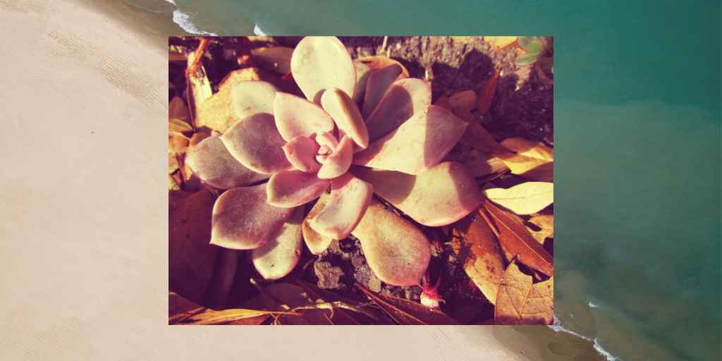 A succulent framed in a teal blue ocean marina with pink sand