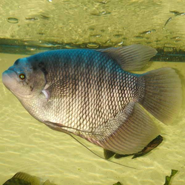 Manfaat-Ikan-Gurame