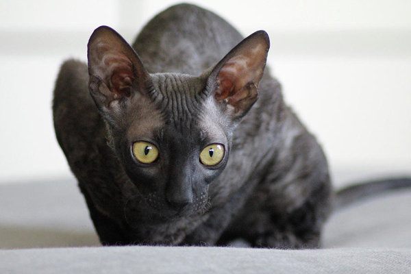 Cornish Rex black cat