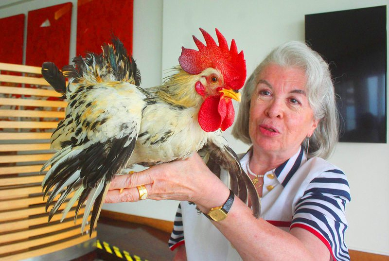 Abogada explica por qué tiene un gallo como mascota