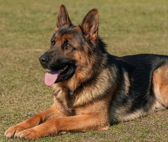 Information about German Shepherd Dog Breed
