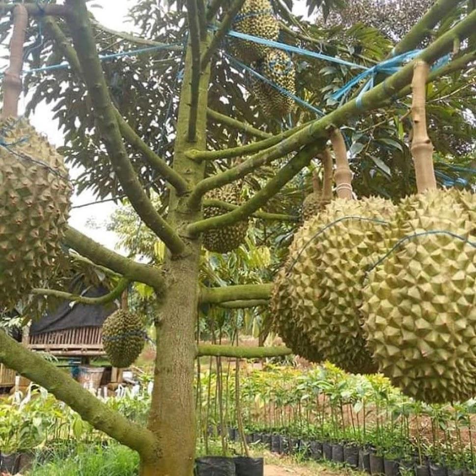 Bibit Durian Musangking Kaki 3 Kendari