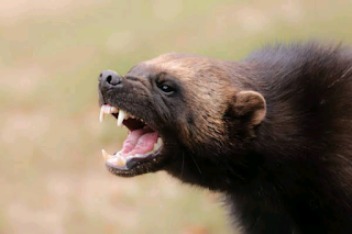 are wolverines dangerous