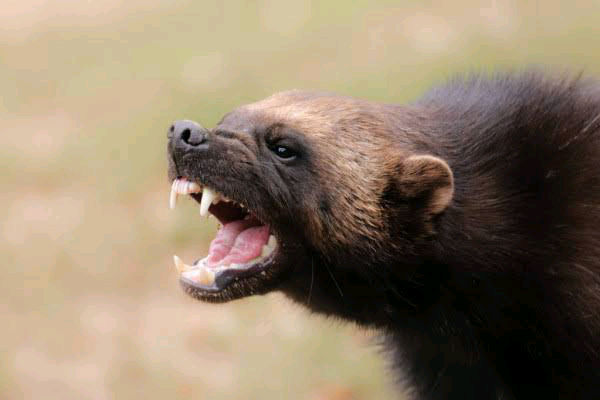 Are wolverines dangerous|best detailed article|