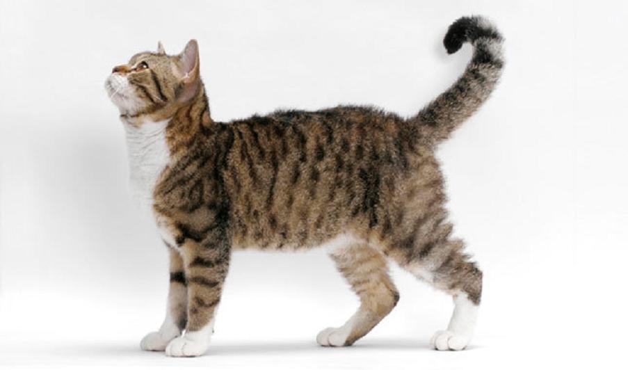 American-wirehair-cats-healthiana