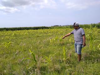 Puluhan Hektar Tanaman Jagung Terancam Gagal Panen