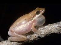 Deskripsi Perilaku Bioakustik Amfibi