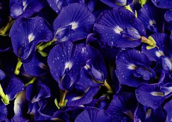 Fleur de pois papillon Namsaa Infusions Paris