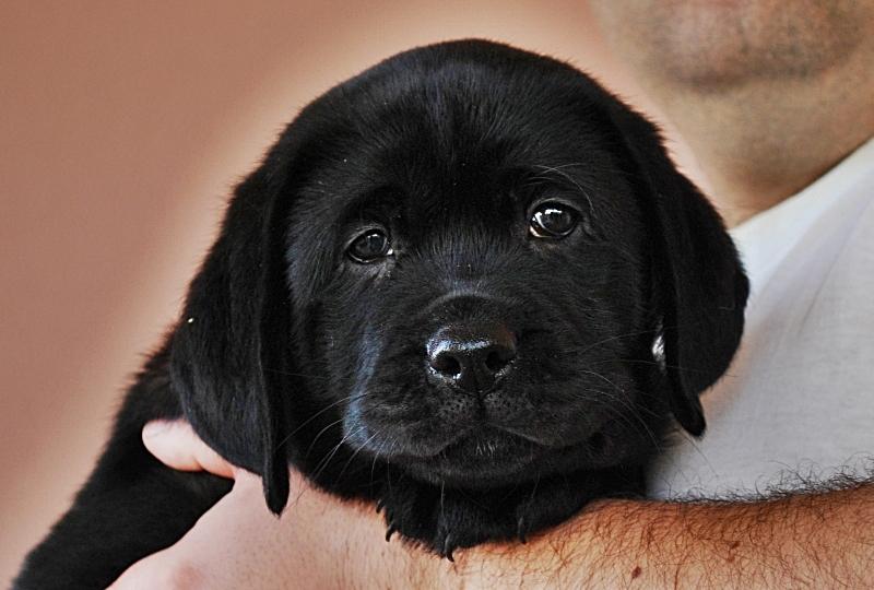Allevamento Labrador Retriever In Sicilia Cuccioli Labrador