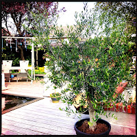 Olijfboom van mijn Lief