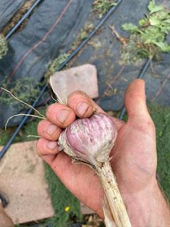 Purple Garlic in Hand