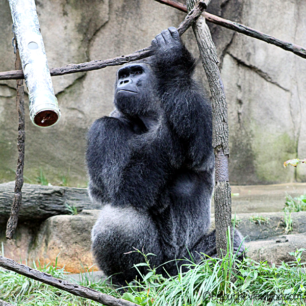 Male Silverback gorilla sitting outside holding onto a small tree
