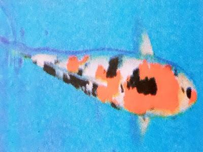 Gambar Ikan Koi Sanke / Taisho Sanshoku