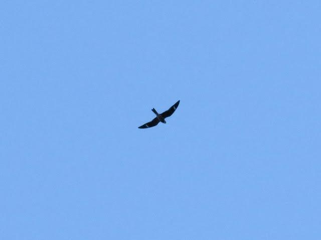 Common Nighthawk - Grayling Forest, Michigan, USA